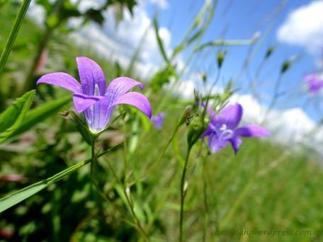 dzwonek polny nieb kwiat 05